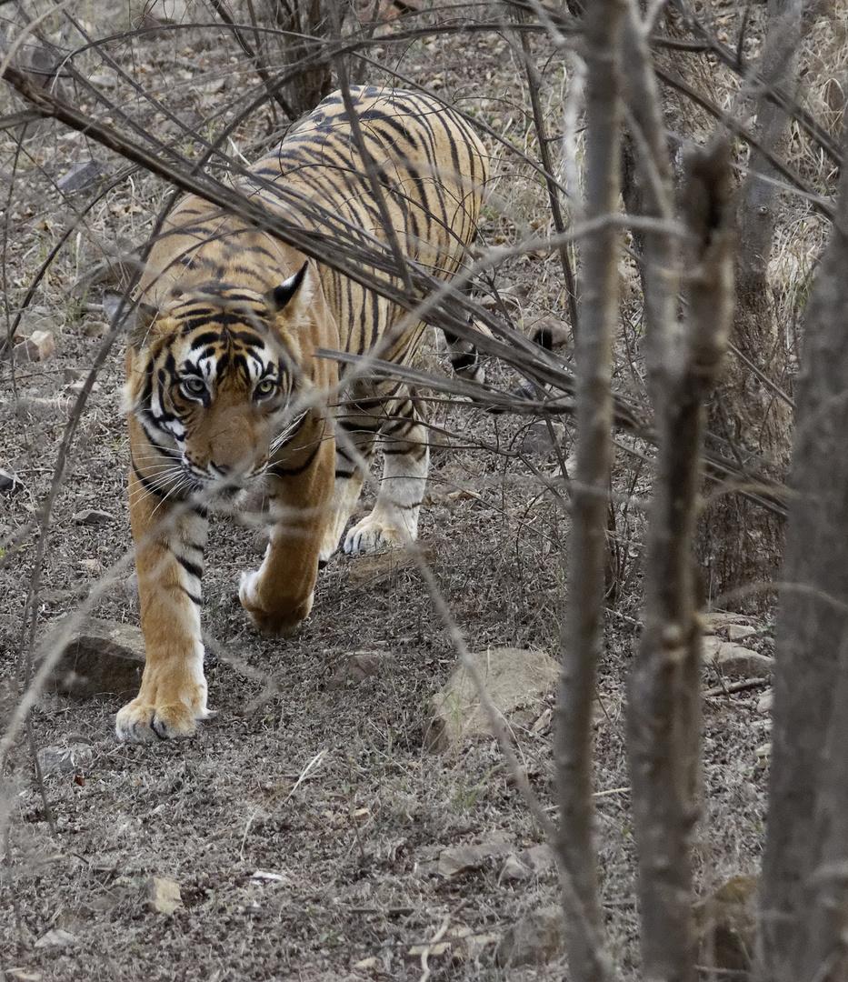 Tiger 2, Ranthambore NP, Indien