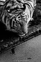 Tiger 2014 Yasin Al Photography