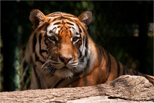 < Tiger 2/4 >