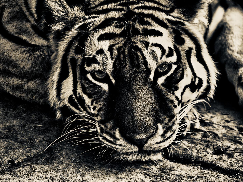 tiger ..