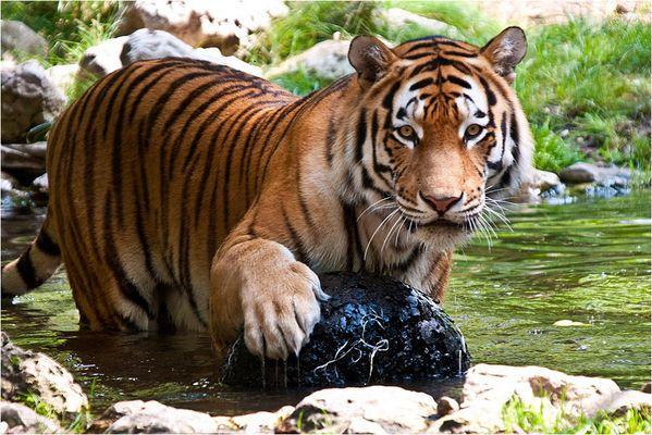 < Tiger 3/4 >