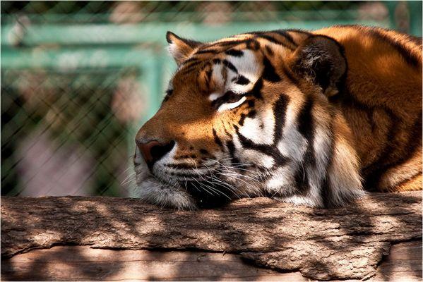 < Tiger 4/4 >