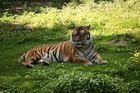 ....Tiger...