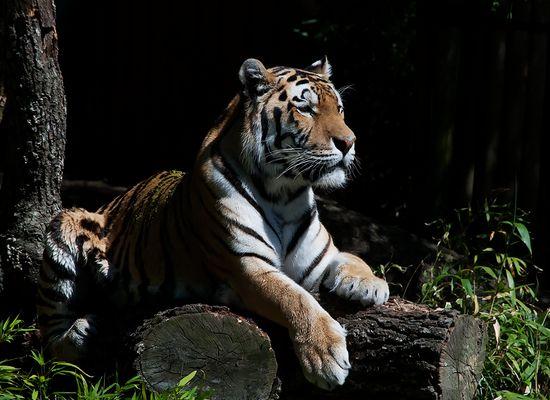 - Tiger -