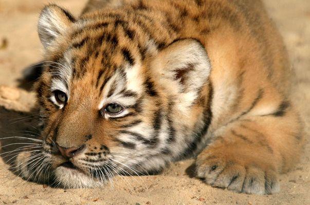 Tiger am Morgen