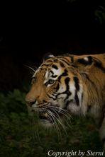 Tiger auf Beutezug