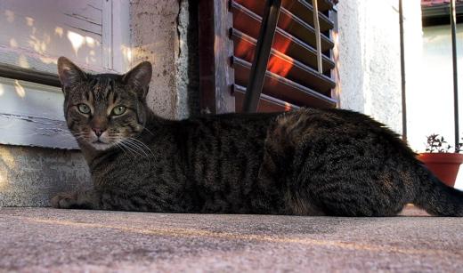Tiger auf dem Balkon