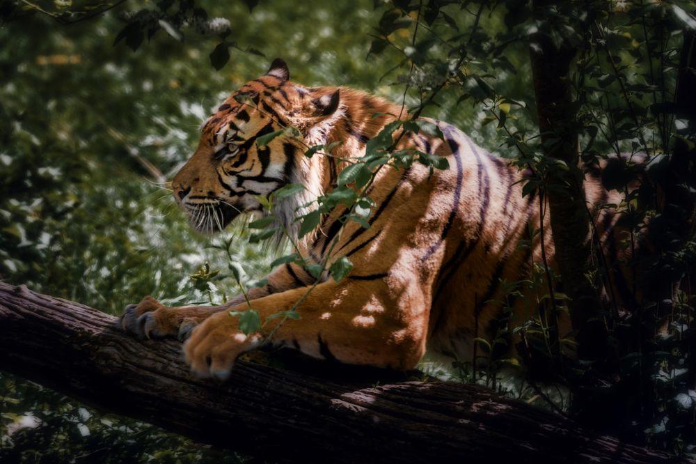 Tiger auf der Jagd
