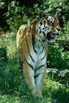 Tiger auf der Jagt
