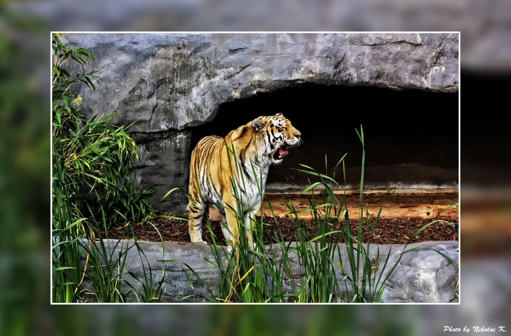 Tiger aus dem Hamburger Zoo