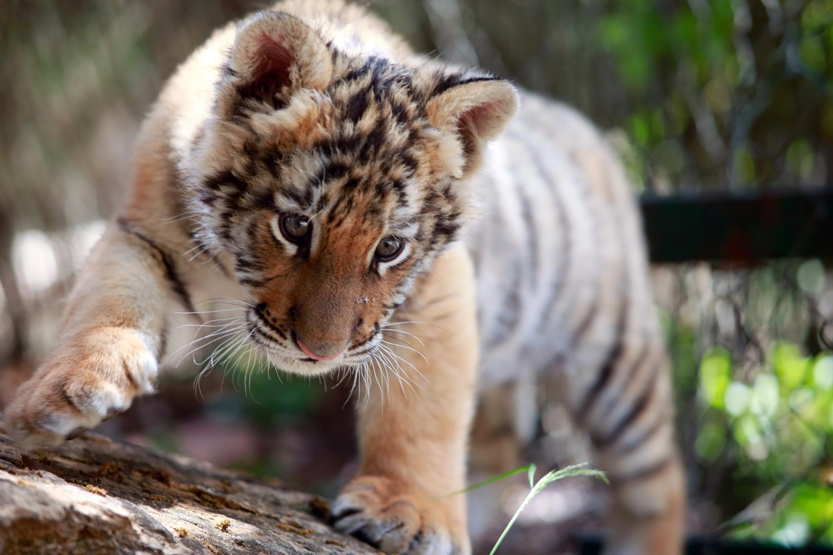 tiger baby foto bild tiere tierkinder ordner1 bilder. Black Bedroom Furniture Sets. Home Design Ideas