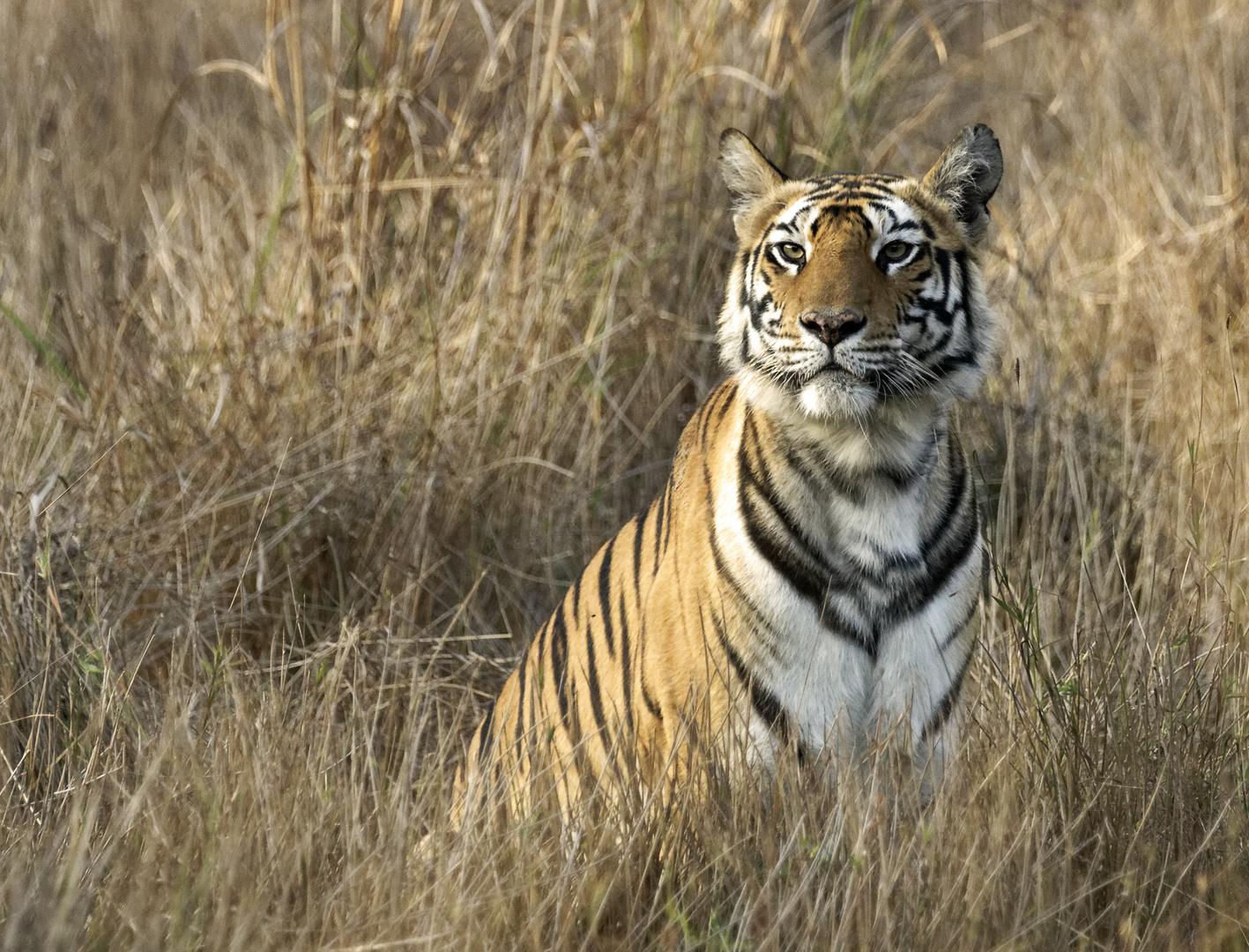 Tiger, Bandhavgarh NP, Indien