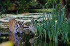 Tiger beim Bad
