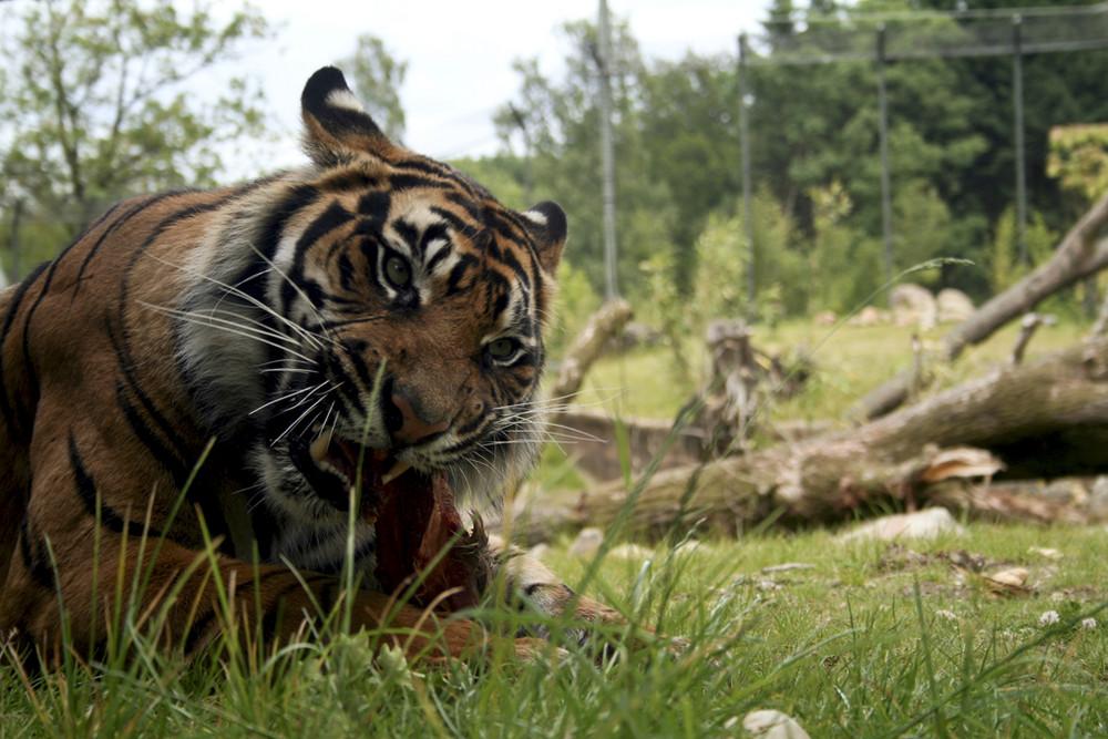 Tiger beim Essen