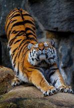 Tiger beim Yoga