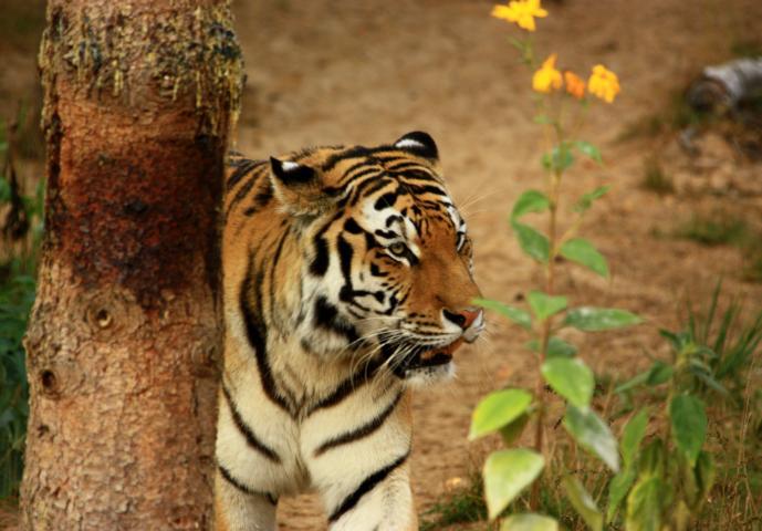 Tiger-Blümchen