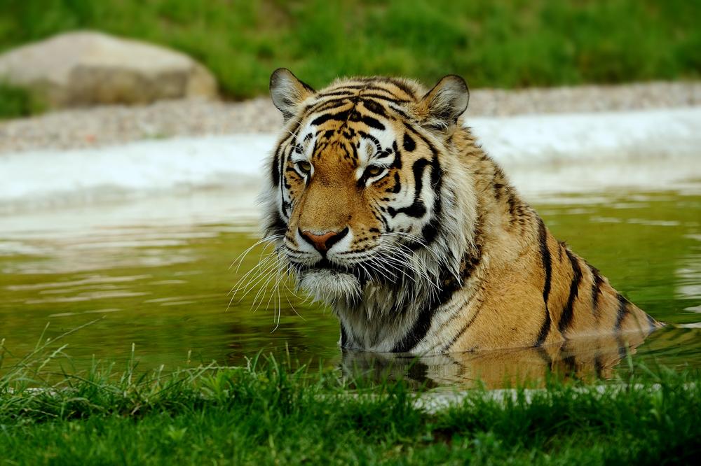 Tiger bracht Abkühlung
