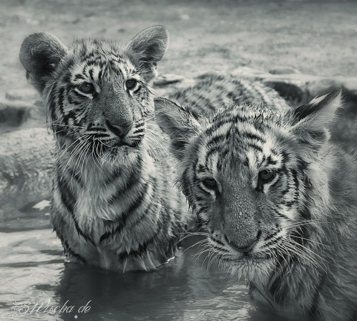 Tiger Brüder
