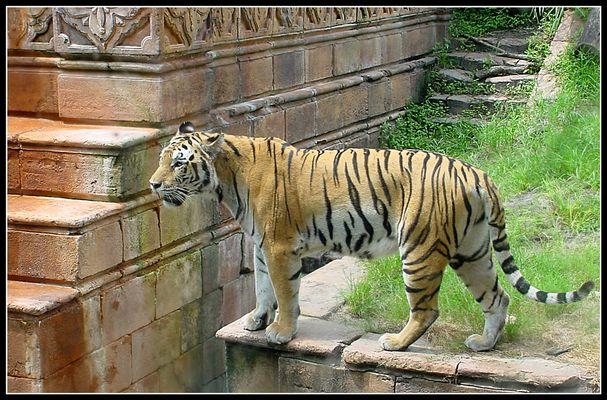 Tiger Buschgardens