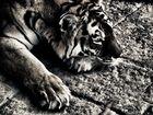 tiger ...