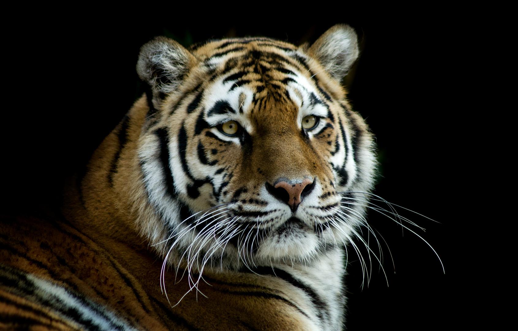 Tiger Dame....