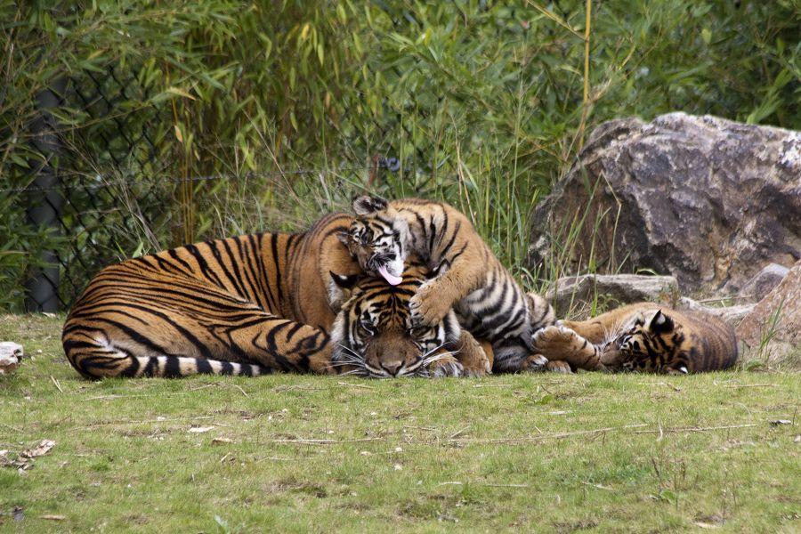 Tiger, die dritte