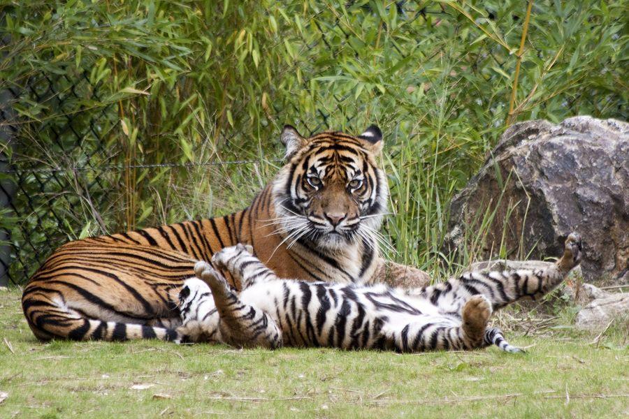 Tiger, die erste