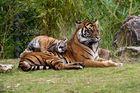 Tiger, die zweite