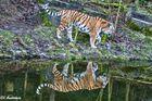 Tiger Doppel
