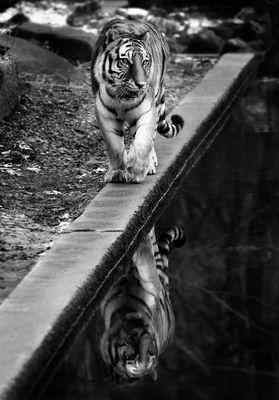 [ tiger .. ]