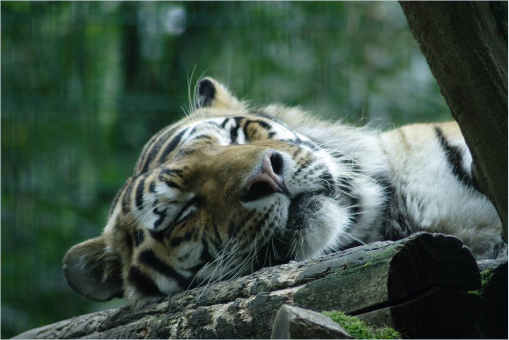 Tiger etwas Müde