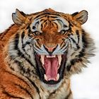 Tiger....