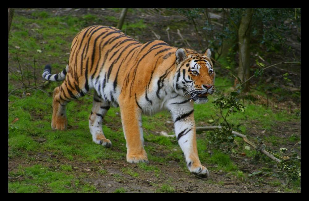 Tiger.....