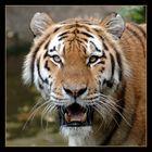 ++ tiger ++