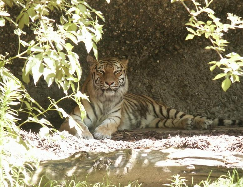 Tiger : Fotografiert im Duisburger Zoo