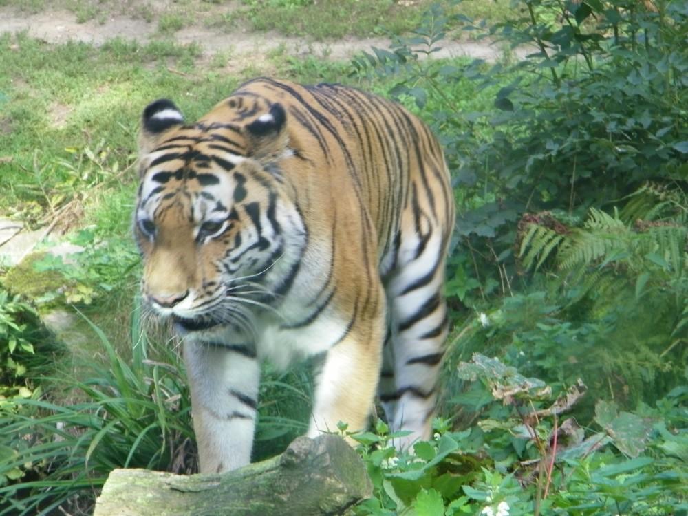 Tiger frontal