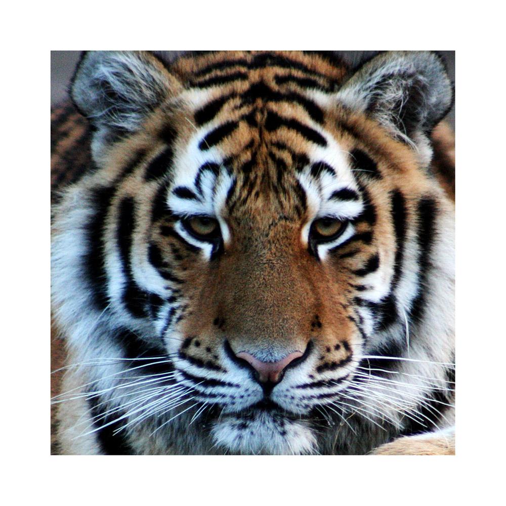 tiger gesicht foto bild tiere zoo wildpark. Black Bedroom Furniture Sets. Home Design Ideas