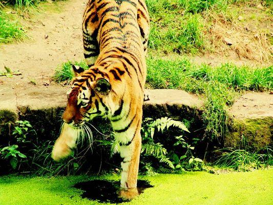 Tiger hassen doch Wasser