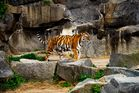 Tiger im Berliner Tierpark