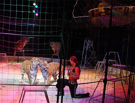 Tiger im Circus