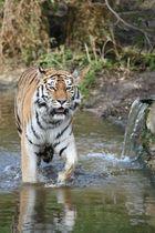 Tiger im Duisburger Zoo