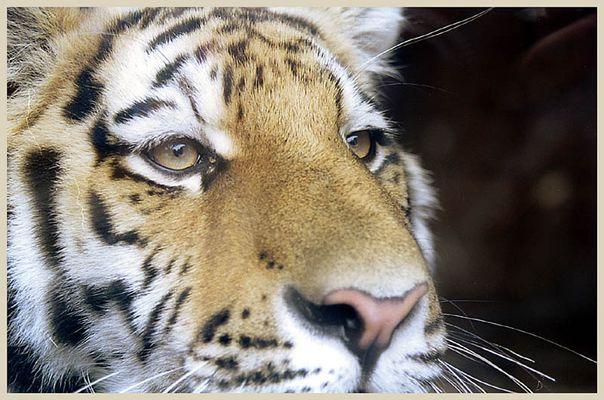 Tiger im Eifel-Zoo mit Nikon SLR