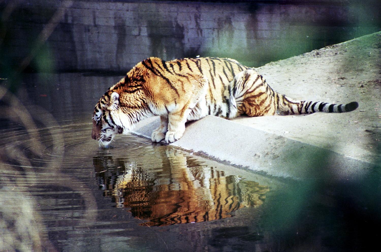 Tiger im Kölner Zoo (4)