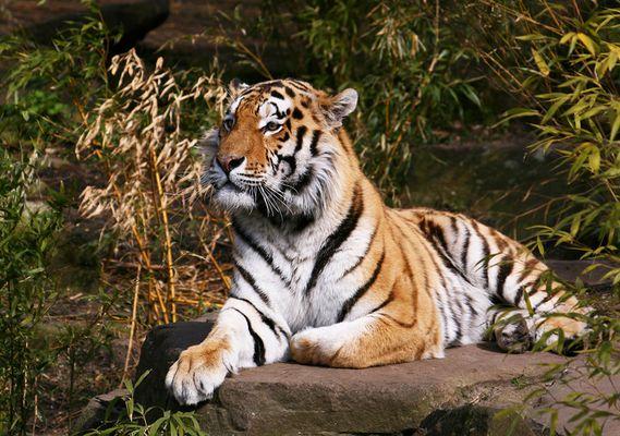 Tiger im Münster Zoo