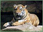 Tiger im Nürnberger Zoo