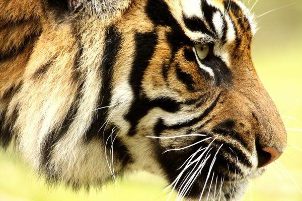 Tiger im Profil