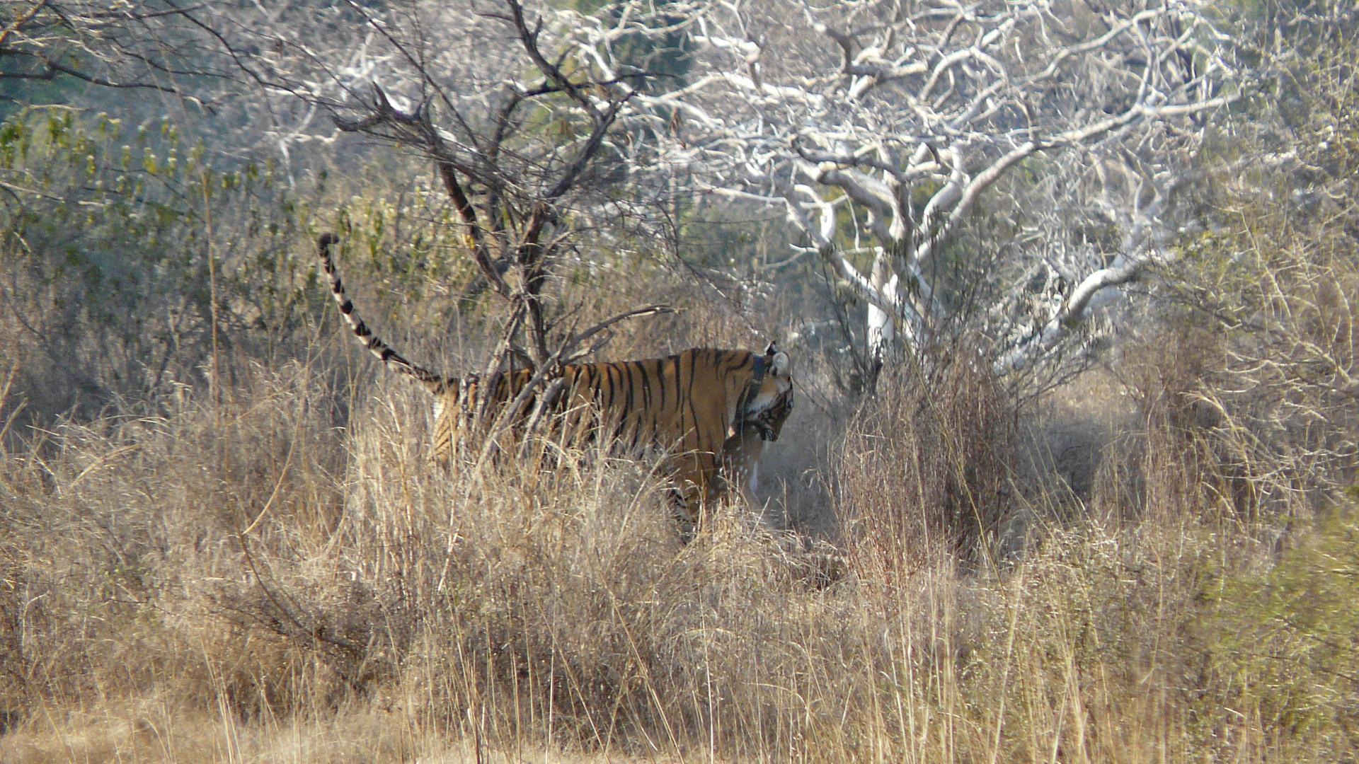 Tiger im Ranthambore National Park