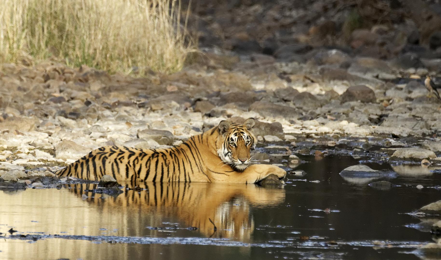 Tiger im Ranthambore NP, Indien