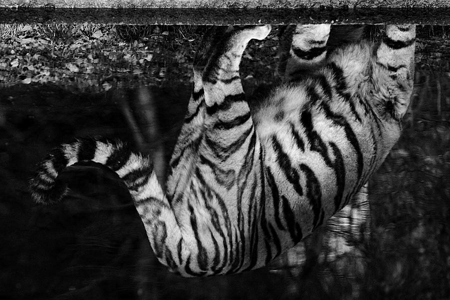 * tiger im spiegel *