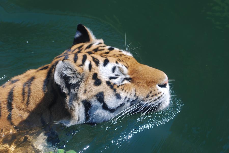 Tiger im Tank